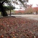 円山公園 まだ始まったばかりの紅葉